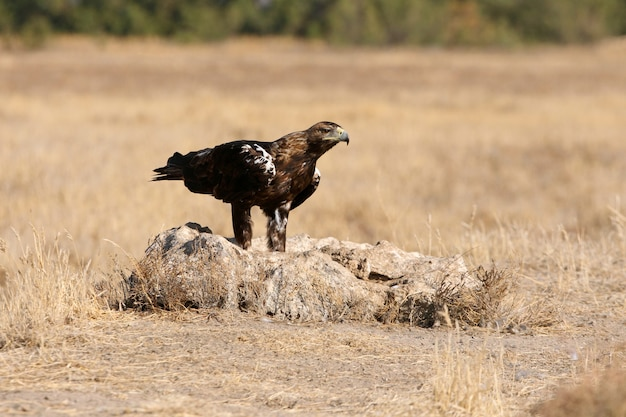 Spanish imperial eagle adult  female on a windy day early morning