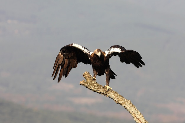 Spanish imperial eagle adult  female in your favorite watchtower in a mediterranean forest on a windy day early morning