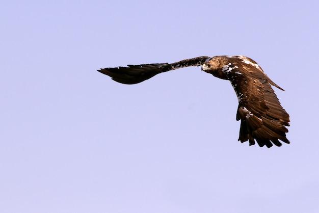 風の強い日に早朝に飛んでいるイベリアカタシロワシの成人男性