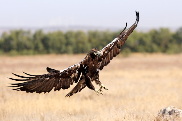 Spanish imperial eagle adult  male flying a windy day early morning