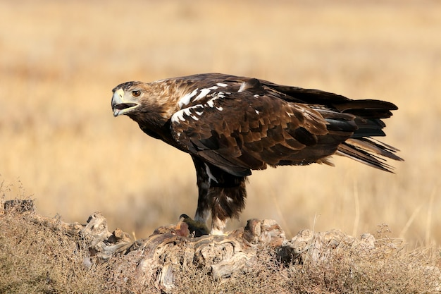 Spanish imperial eagle adult  male on a windy day early morning