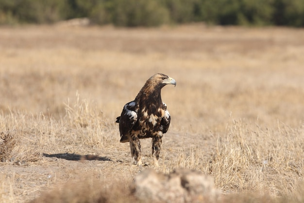 Spanish imperial eagle five years old  female on a windy day early morning