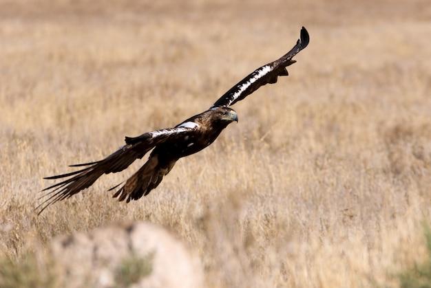 Испанский императорский орел, летящий на природе