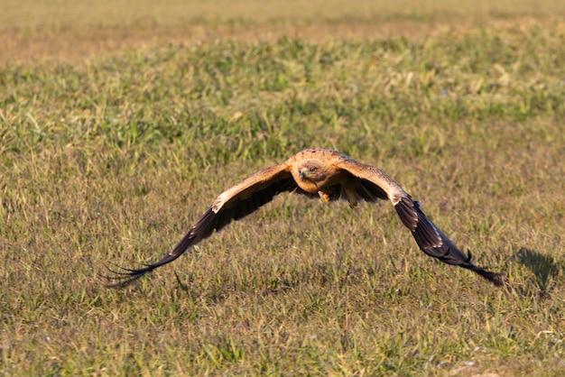 Испанский имперский орел, летящий в первых лучах рассвета в холодный зимний день