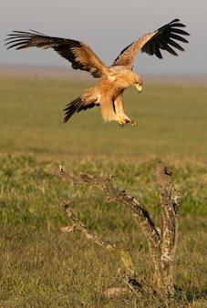 Испанский имперский орел, летящий с первыми лучами рассвета в холодный зимний день