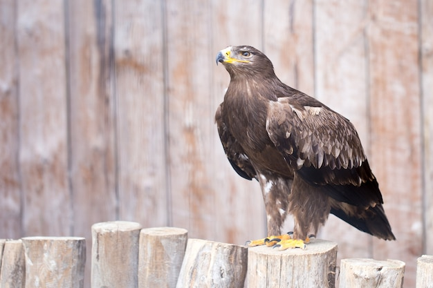 스페인 제국 독수리-사냥 독수리.