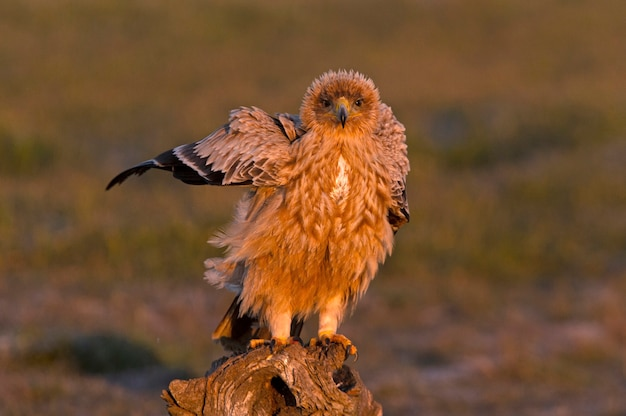 Испанский имперский орел в первых лучах рассвета в холодный зимний день