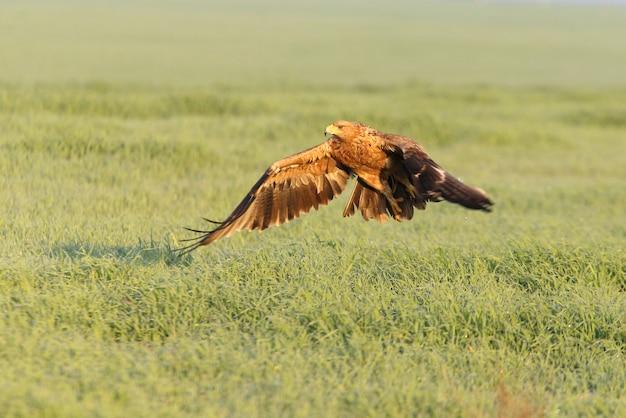 寒い冬の日の最初の朝の明かりで飛んでいるスペイン帝国イーグル2歳の女性