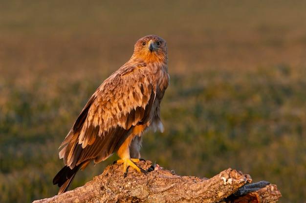 Испанский имперский орел с первыми лучами рассвета в холодный зимний день