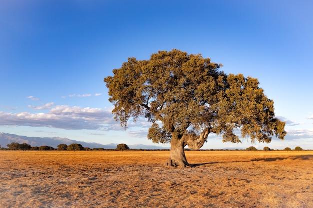 홀름 참나무와 함께 여름에 스페인 초원