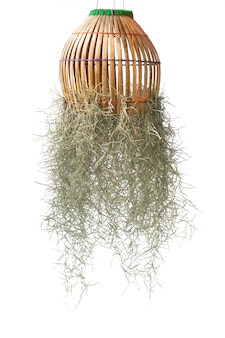 Spanish moss isolate on white.clipping path.