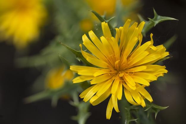 Cardo selvatico spagnolo o cardo selvatico dorato comune colymus hispanicus,