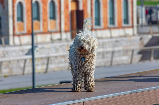 Spanish water dog (cantabrian - barbet breed). foreground. light hair, long and with dreadlocks.