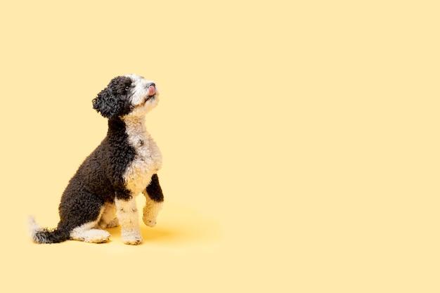 Испанская водяная собака с языком на желтом фоне. копировать пространство