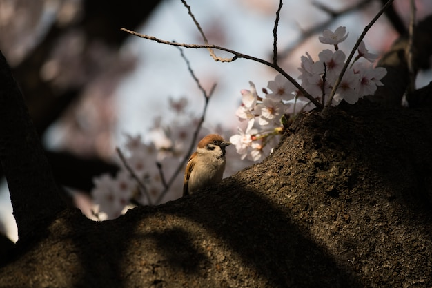 Sparrow bird and japan sakura cherry blossom