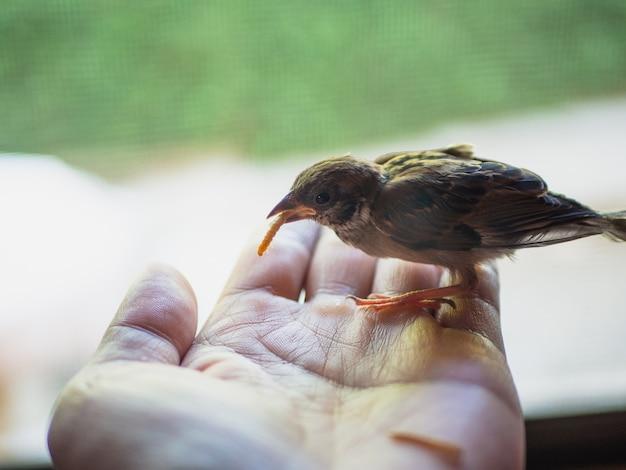 Sparrow boir eat mealworm in hand