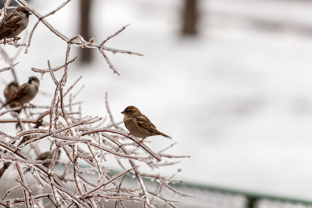 Sparrow on frozen plants covered in thick layer of ice