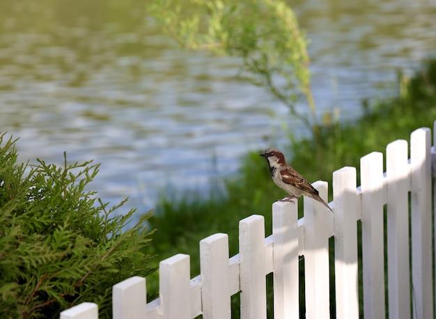 ぼやけた湖のある白い木製のフェンスに腰掛けたスズメ