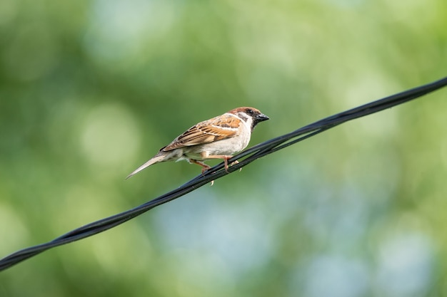 A sparrow sits on electric wires