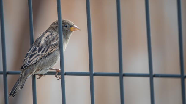 Sparrow sits on a metal fence