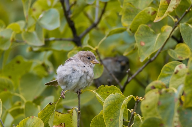 Sparrow sitting on a branch of lilac