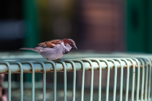 Sparrow stalking food on the terrace of a restaurant