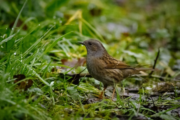 Sparrow standing on the ground surrounded by grass covered in water drops with a blurry