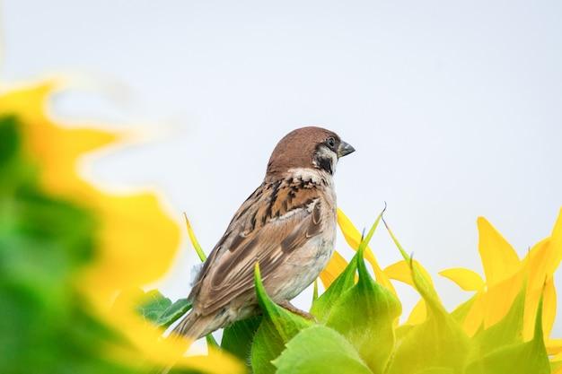 Sparrow on sunflower