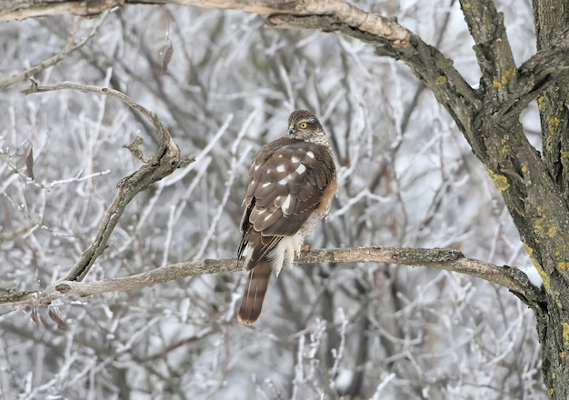 Ястреб-перепелятник сидит на ветке в зимнем лесу.