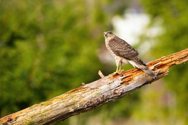 Sparrowhawk sitting on bough in summer nature with copy space.