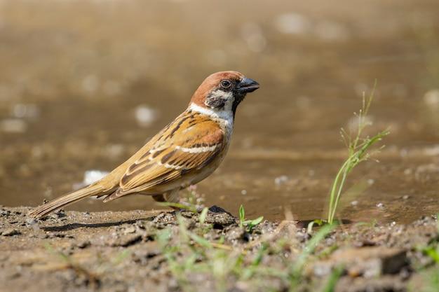 すずめは床に水を飲んでいます。鳥。動物。