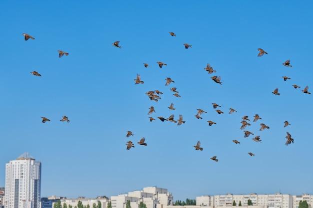 スズメの群れが青い空を飛ぶ