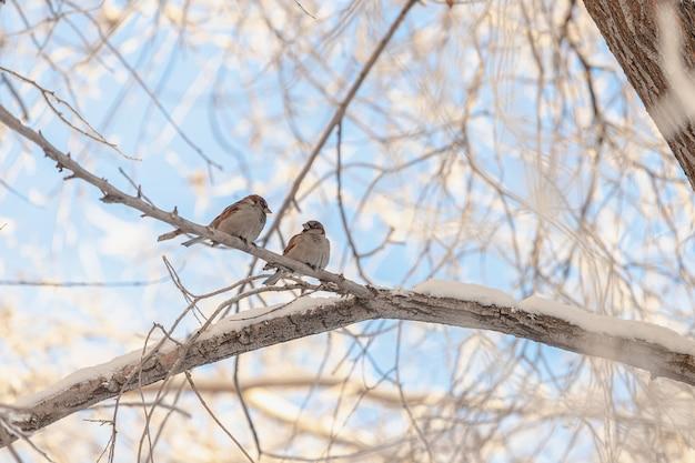Воробьи зимой сидят на ветке, покрытой снегом на фоне голубого неба.
