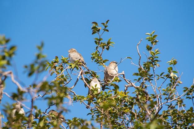 Jabuticaba 나무의 가지에 참새 프리미엄 사진