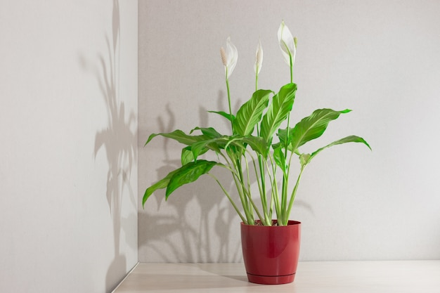 スパティフィラムが咲きます。木製のテーブルの植木鉢に女性の幸せという名前の白い花を持つ植物。