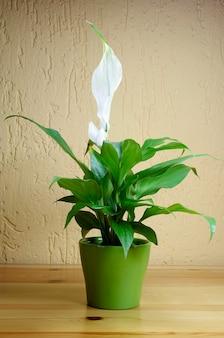 机の上のspathiphyllumfloribundum白い花