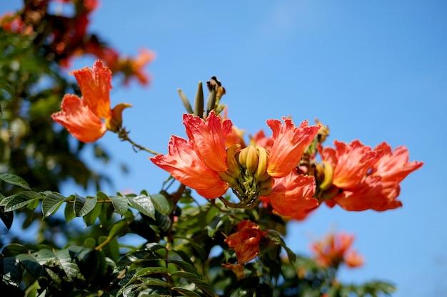 진홍색 꽃이 만발한 spathodea campanulata