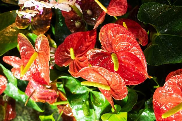 赤い開花のspatiphyllumの花は温室で育ちます。