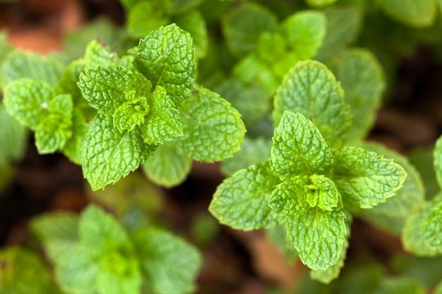 スペアミントの葉-ガーデンミント-ハッカ