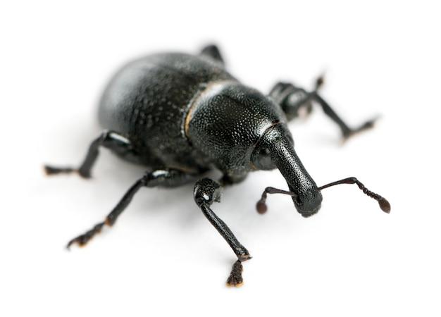Вид долгоносиков - вирус liparus - это жук