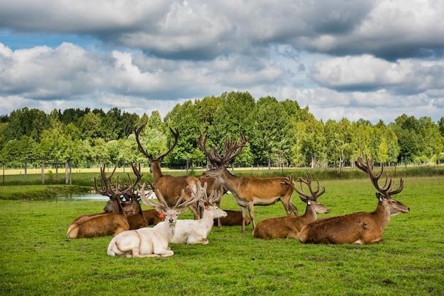 Пятнистые олени лежат на зеленой траве