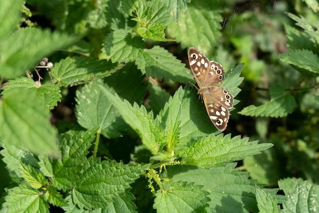 Пятнистая древесная бабочка (pararge aegeria) сидит на листе под осенним солнцем