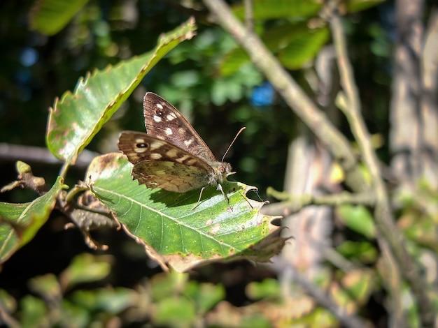얼룩덜룩 한 나무 pararge aegeria 나비