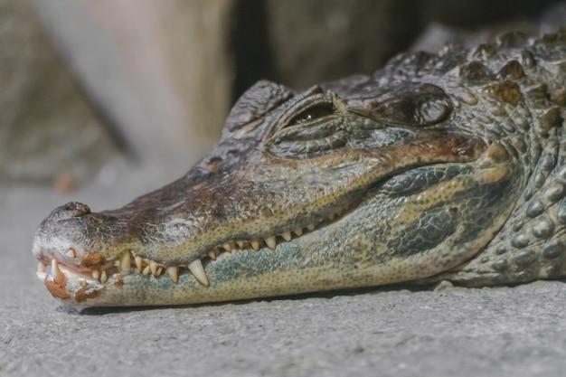 Spectacled caiman portrait (caiman crocodilus)