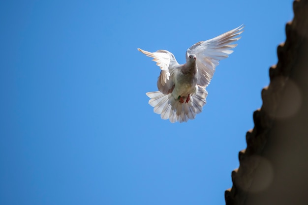 Speed racing pigeon bird flying mid air against clear blue sky
