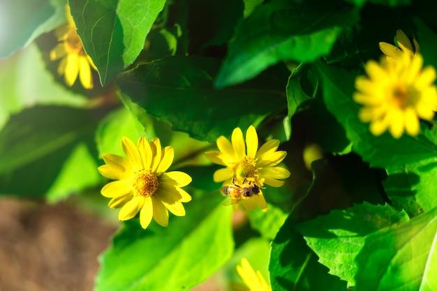 Sphagneticola trilobata, висячие цветы ромашки или wedelia цветут в клумбе.