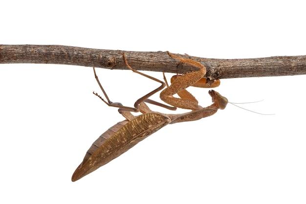 Африканский богомол или африканский богомол, sphodromantis lineola, свисающий с ветки