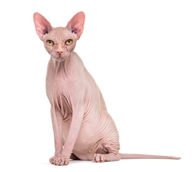 孤立したスフィンクス猫のクローズアップ