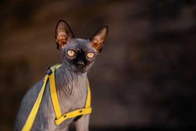 Sphynx cat on a leash. grey cat lying on a wooden floor. yellow leash.