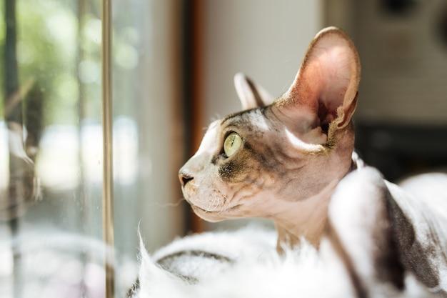 Кошка сфинкс смотрит в окно